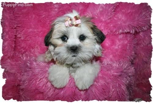maltese shih tzu for sale teacup mal shi malshi female puppy for sale shih tzu and 8197