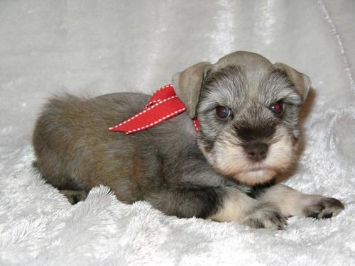 Teacup Maltipoo Puppies For Sale In Houston Texas Classified