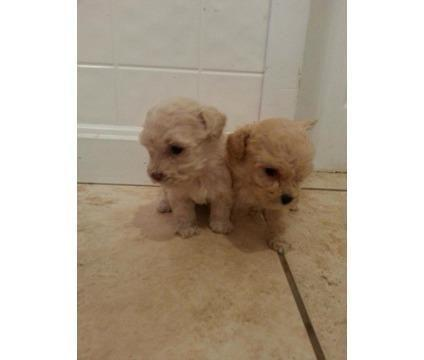 Maltipoo For In Philadelphia Pennsylvania Clifieds And Americanlisted