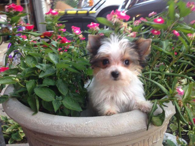 yorkie puppies for sale indianapolis teacup micro akc parti female yorkie yorkshire terrier for 9712