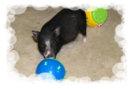 Teacup Mini/Micro Juliana Pixie Royal Pot Belly Pigs