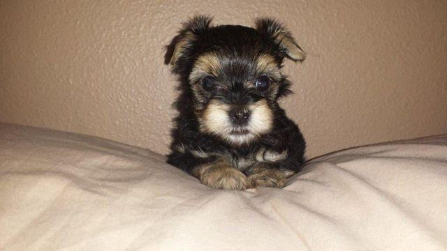 Teacup Morkie boy puppy for sale