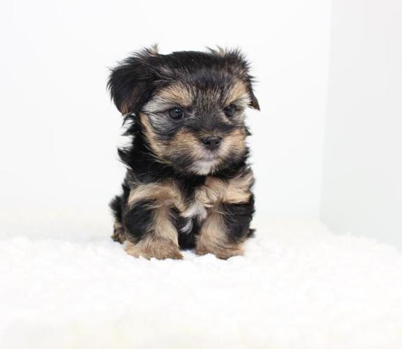 Teacup Morkie Puppies Available For Sale In Los Angeles