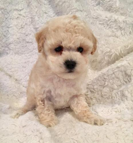 Teacup Morkie puppies -see pics for colours