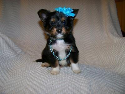 Teacup Morkie Puppy - IZZY