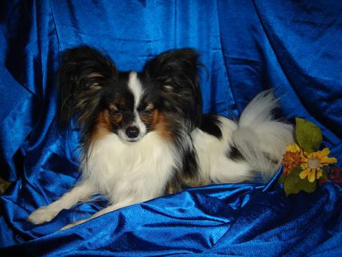 Teacup papillon puppies taking deposits ready dec 31st for Papillon new york