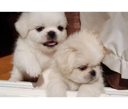 Teacup Pekingese puppies