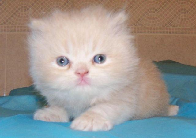 Teacup Persian CFA Cream Male Kitten Kittens Sale Brooklyn New York