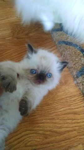 Teacup Persian Himalayan kitten Gorgeous! for Sale in Pittsburgh ...