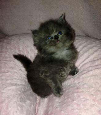 Teacup Persian Kitten Red Orange Flame Available Now 8 ...