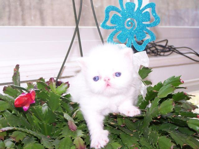 Teacup Persian Kittens New Jersey Stroudsburg Pennsylvania for Sale ...