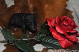 Teacup Piglets ready for holding deposit (Tehachapi)