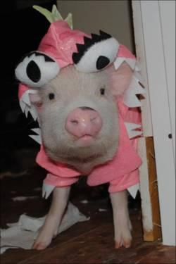 Teacup Pigs In Time For Christmas!!