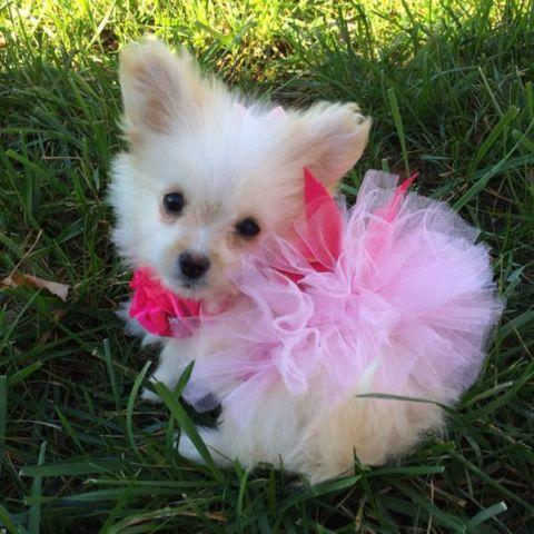 Teacup pomapoo pomeranian/poodle girl puppy for Sale in ...