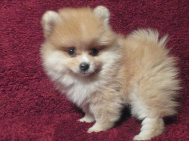teacup pomeranian for sale in Houston, Texas Classifieds