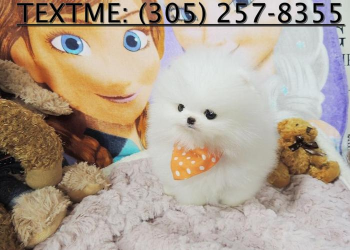Teacup Pomeranian Puppies 4 Re- Homing
