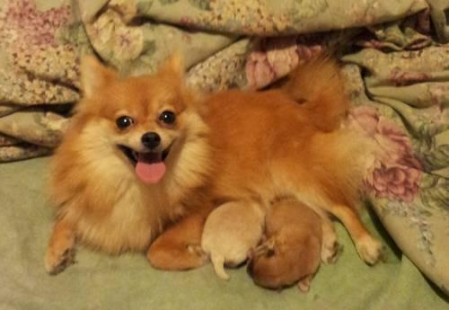 teacup pomeranian for sale in nj teacup pomeranian puppies for sale in dayton ohio 7283