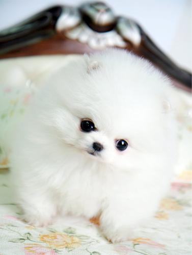 teacup pomeranian for sale in ky teacup pomeranian puppies for sale in ashland kentucky 7744
