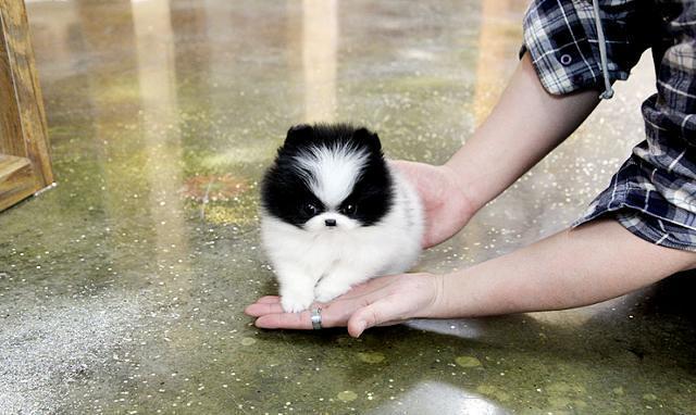 Teacup Pomeranian Puppies