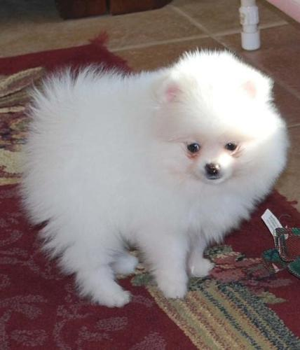 pomeranian california teacup pomeranian puppies for sale in alameda california 8434