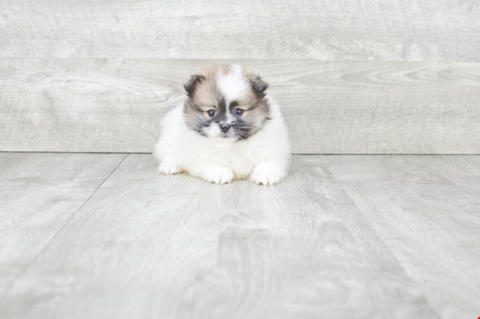 Teacup Pomeranian Puppies For Sale!! Kayla!! (f), Www premierpups com
