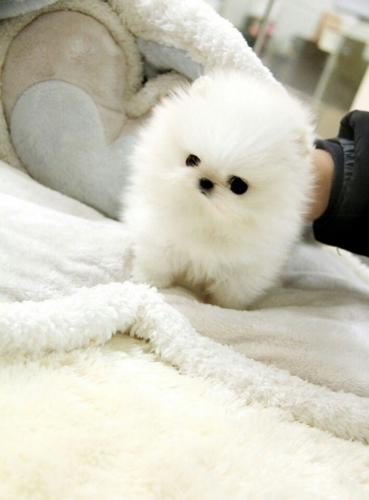 pomeranian breeders michigan teacup pomeranian puppy available for sale in auburn hills 8043
