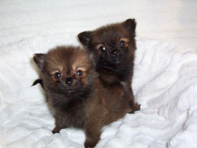 purebred pomeranian puppies teacup pomeranian purebred puppies 8 weeks old for sale 3332