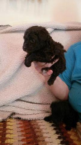 Teacup Puppies For Sale In Nashville Tennessee Classifieds