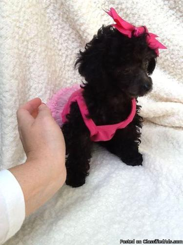 teacup poodle black