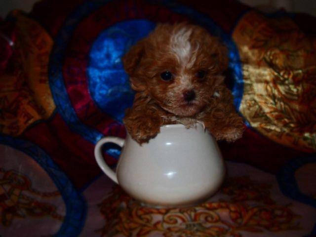 Teacup Poodle Extremely Rare Party Color For Adoption For