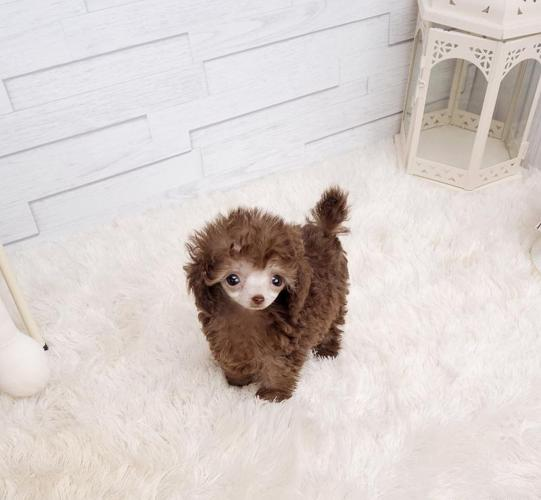 Teacup Poodle Puppies Available
