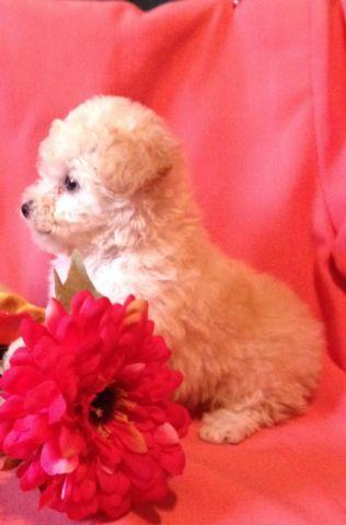 Teacup Poodle Puppy - Light Apricot/DK Cream Female -