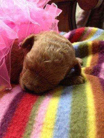 Teacup Poodle Puppy - Red Female - AKC registered