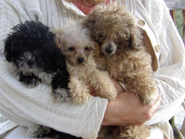 Teacup Poodles