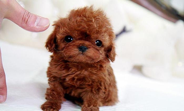 Teacup Puppies Available For Sale At dreamlandpuppies us