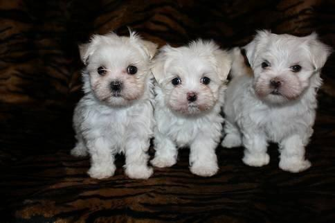 Teacup Maltese Shih Tzu Puppies For Sale - Goldenacresdogs com
