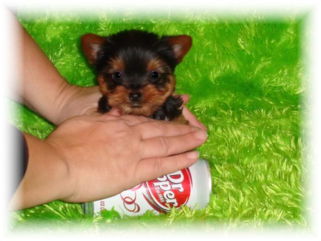 Teacup Puppies For Sale Must See Celebrity Customers Text