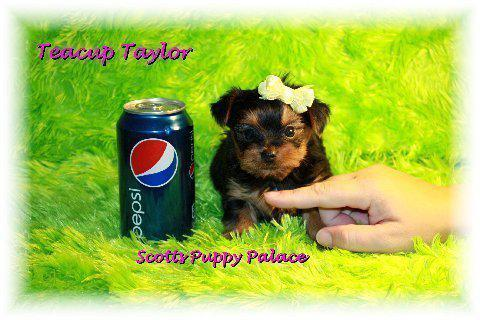 Teacup Yorkie Puppies For Sale In Mississippi Classifieds Buy And