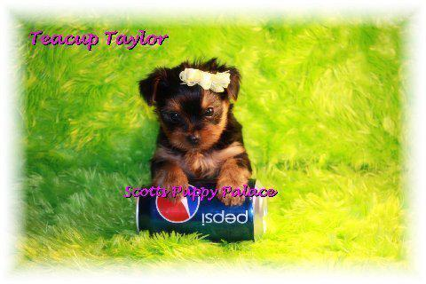 teacup puppies for sale in Albuquerque, New Mexico