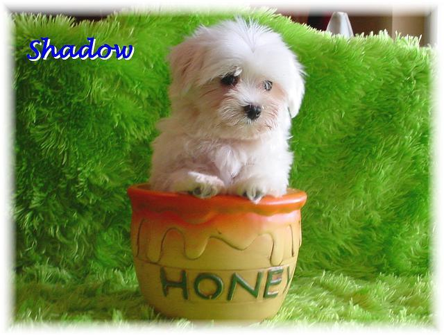 ♥ TEACUP PUPPIES For Sale ♥ Must See CELEBRITY Customers