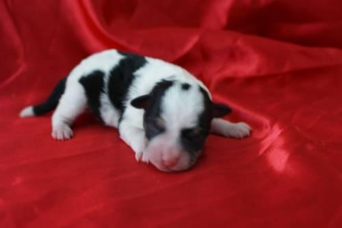 Teacup Schnauzer Puppies! for sale in Lindsay, Oklahoma
