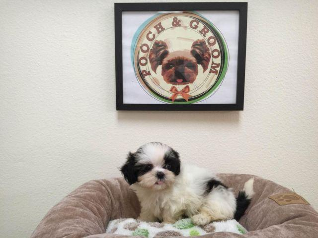 Teacup Shihtzu Panda Male For Sale In Los Angeles California