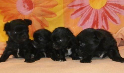 teacup puppies for sale in Jacksonville, Florida Classifieds