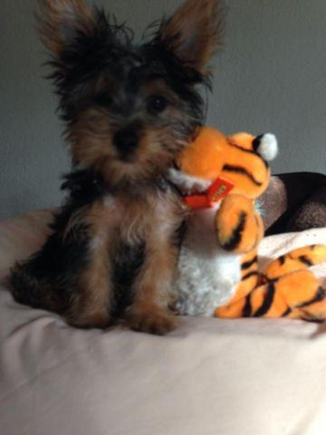 Teacup Silky Yorkies For Sale In Hollywood Florida Classified