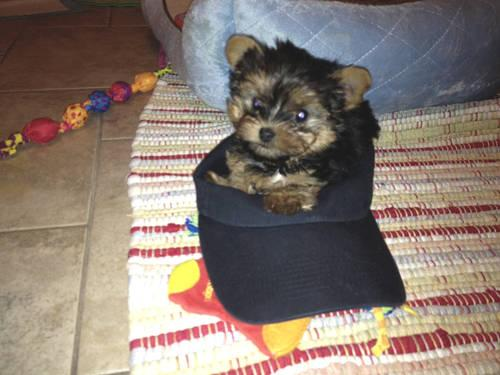 teacup yorkie for sale mn teacup size yorkie puppy jack for sale in andover 3843