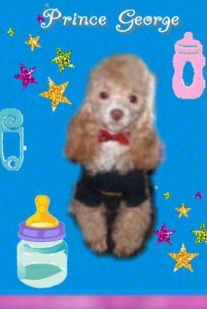 Teacup Tiny Toy And Toy Poodles For Sale In Los Angeles