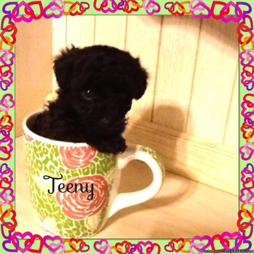 teacup & tiny toy poodle puppies