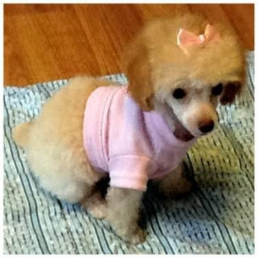 Teacup Tiny Toy Poodle Rare Size Color Chocolate Brown