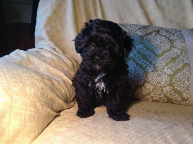 Teacup Toy Bernedoodle Male Puppy 6kg Full Grown For Sale In Port Huron Michigan Classified
