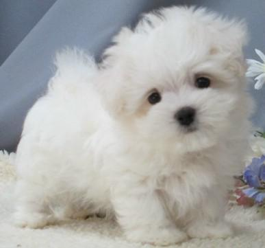 Teacup Amp Toy Maltipoo Puppies For Sale On Long Island New